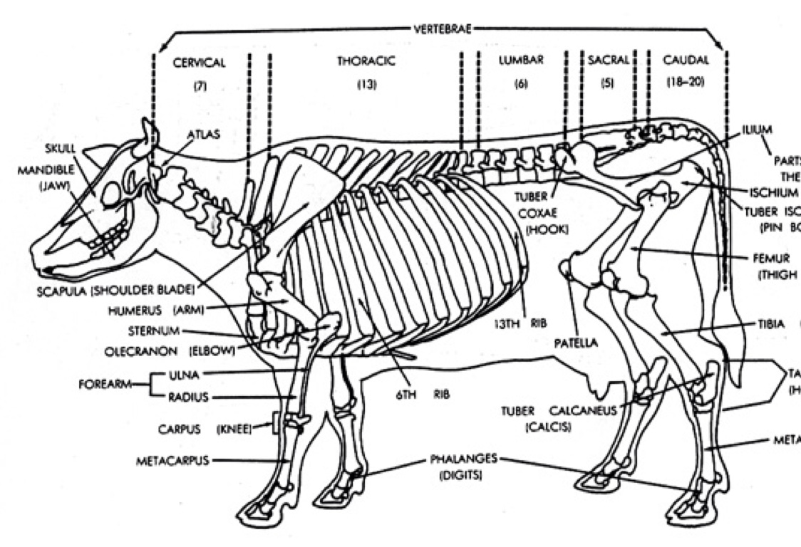 The Skeletal System Of A Cow by Tony Smith