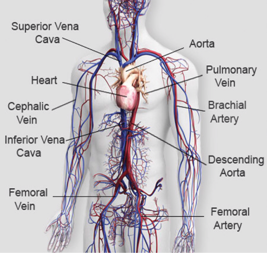 Human Vascular System Diagram Courses Photography Gallery Sites With
