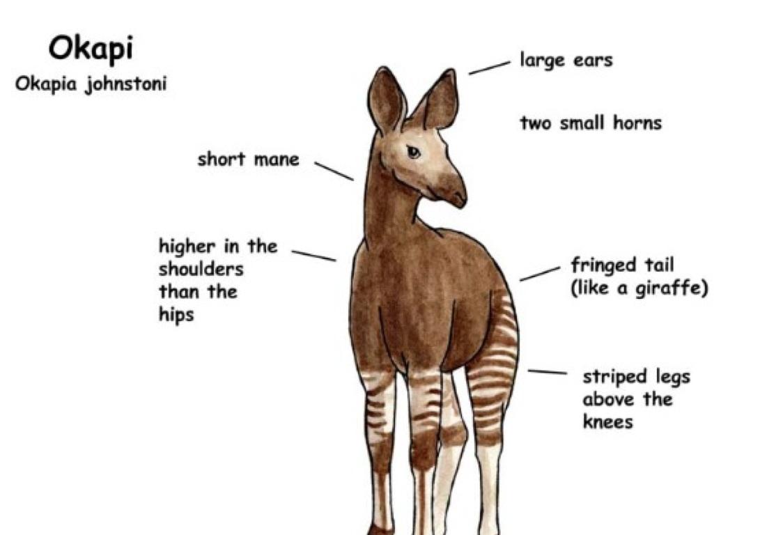 Giraffe Okapi Diagram Wire Data Schema Kenworth T800 Wiring Schematic Diagrams Electrical Darren Auto U2022 Rh 6weeks Co Uk Compared To A