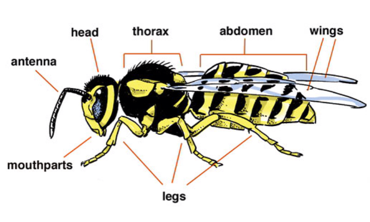 Anatomy Of Insects Image collections - human body anatomy
