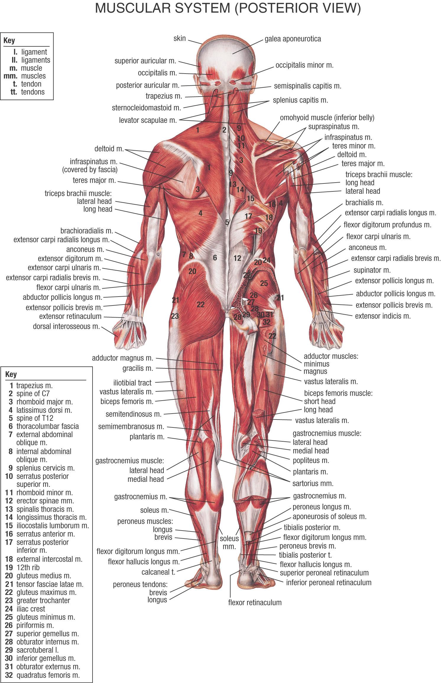Wunderbar Bild Muskelsystem Bilder - Menschliche Anatomie Bilder ...