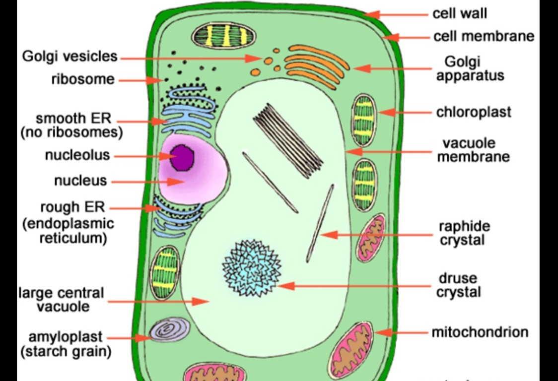 Cell Structure By Chaucer Ruland Animal Diagram Science Pinterest Animals And