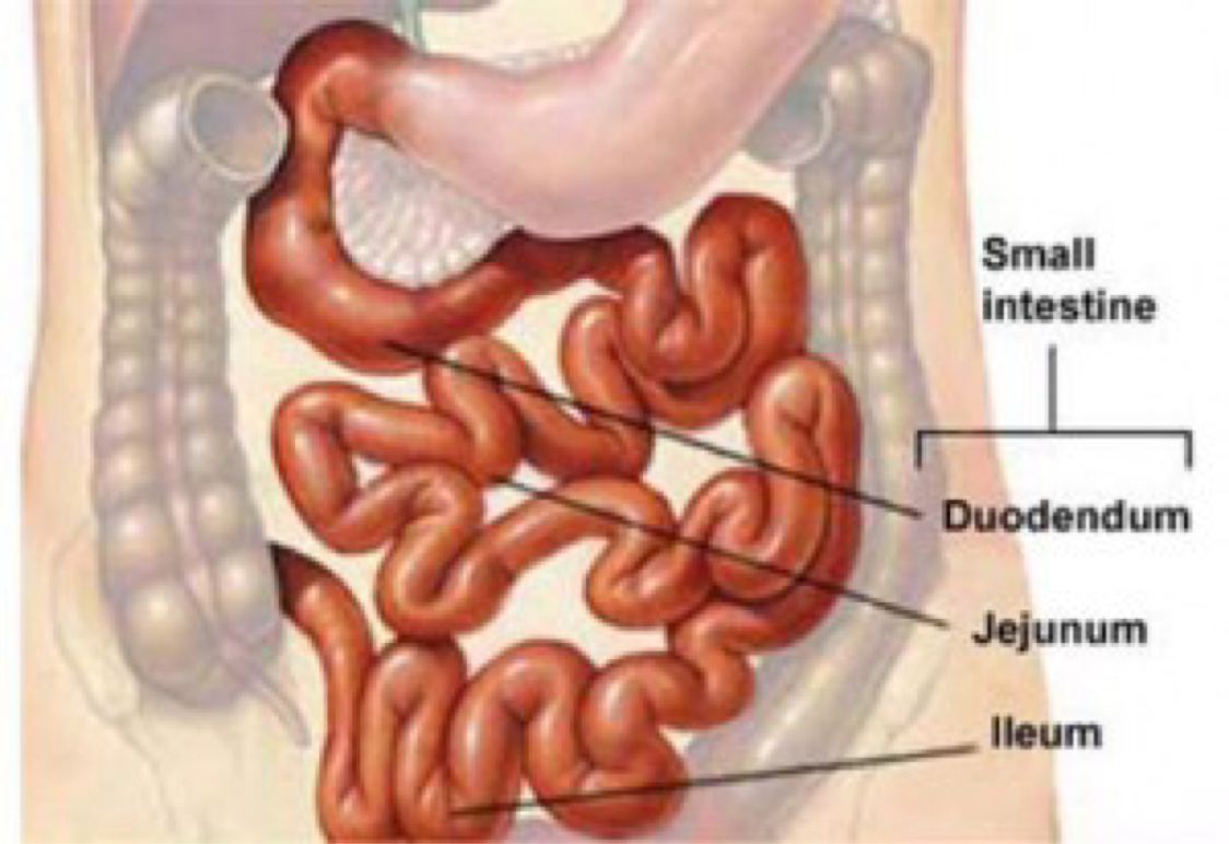Digestive System By Caroline Rowatt