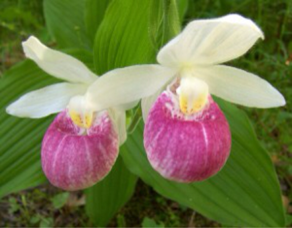 Funky pink and white lady slipper flower motif wedding and flowers pink and white lady slipper orchid flower get to know mn by edwin hiler mightylinksfo