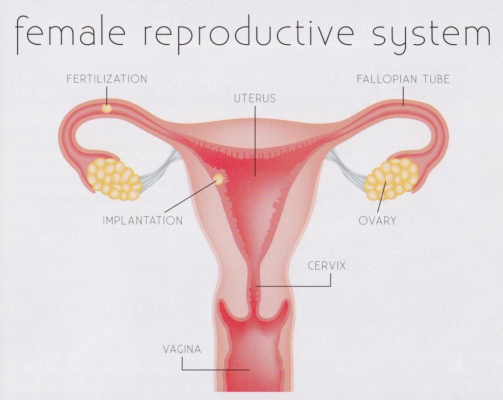 Marsupial Reproductive Anatomy Choice Image - human body anatomy