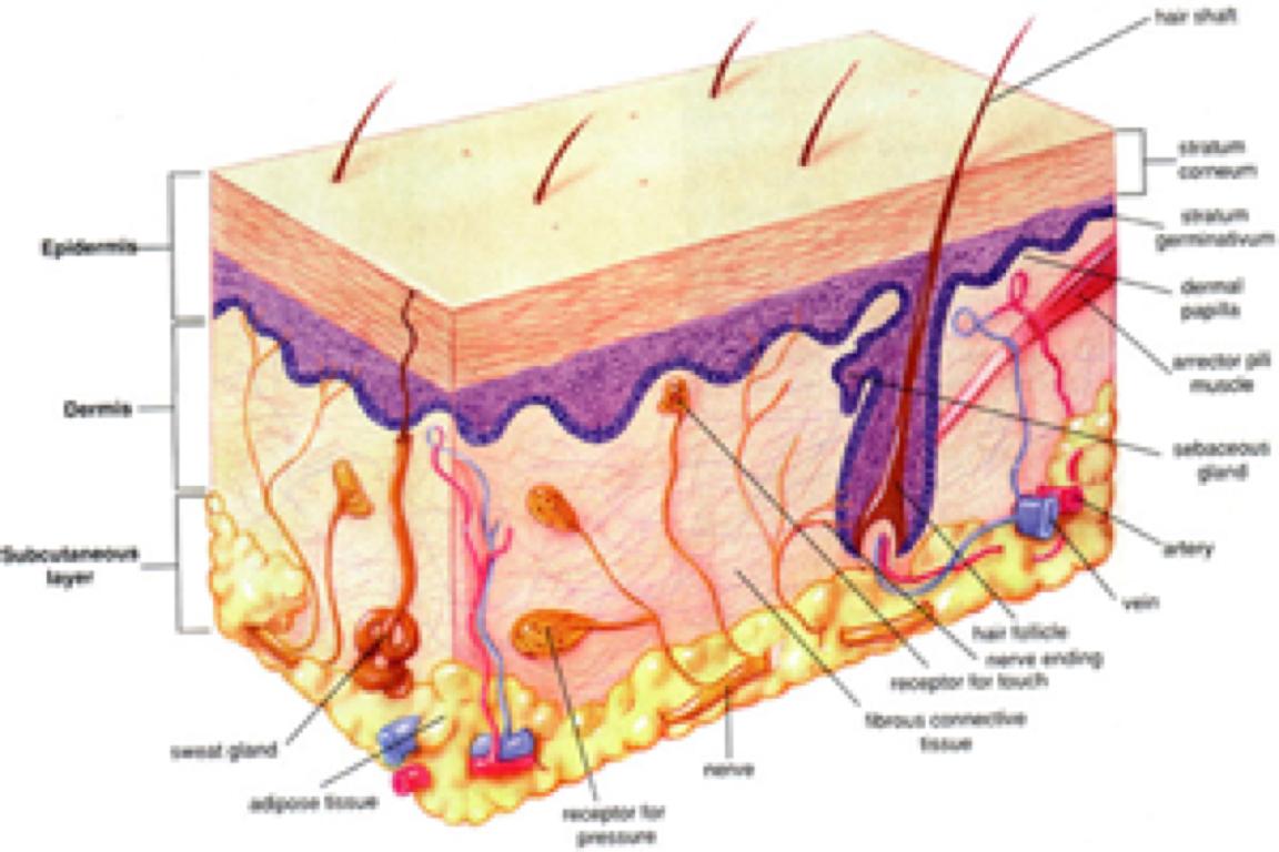 The Organ System by Seth Smith