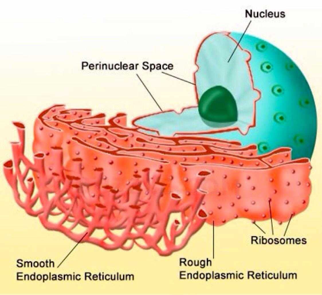 Rough Endoplasmic Reticulum In A Plant Cell