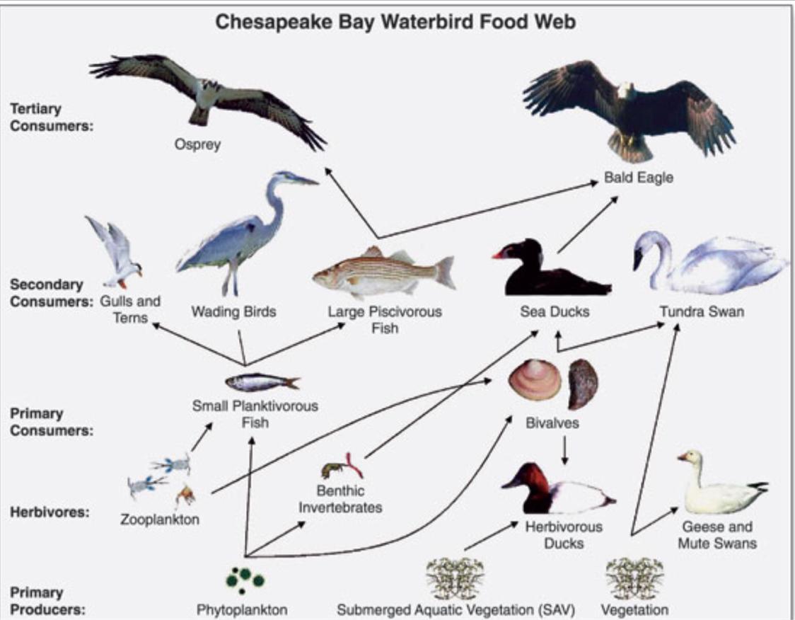 worksheet Food Chains And Food Webs Worksheet food chainswebs by sami w