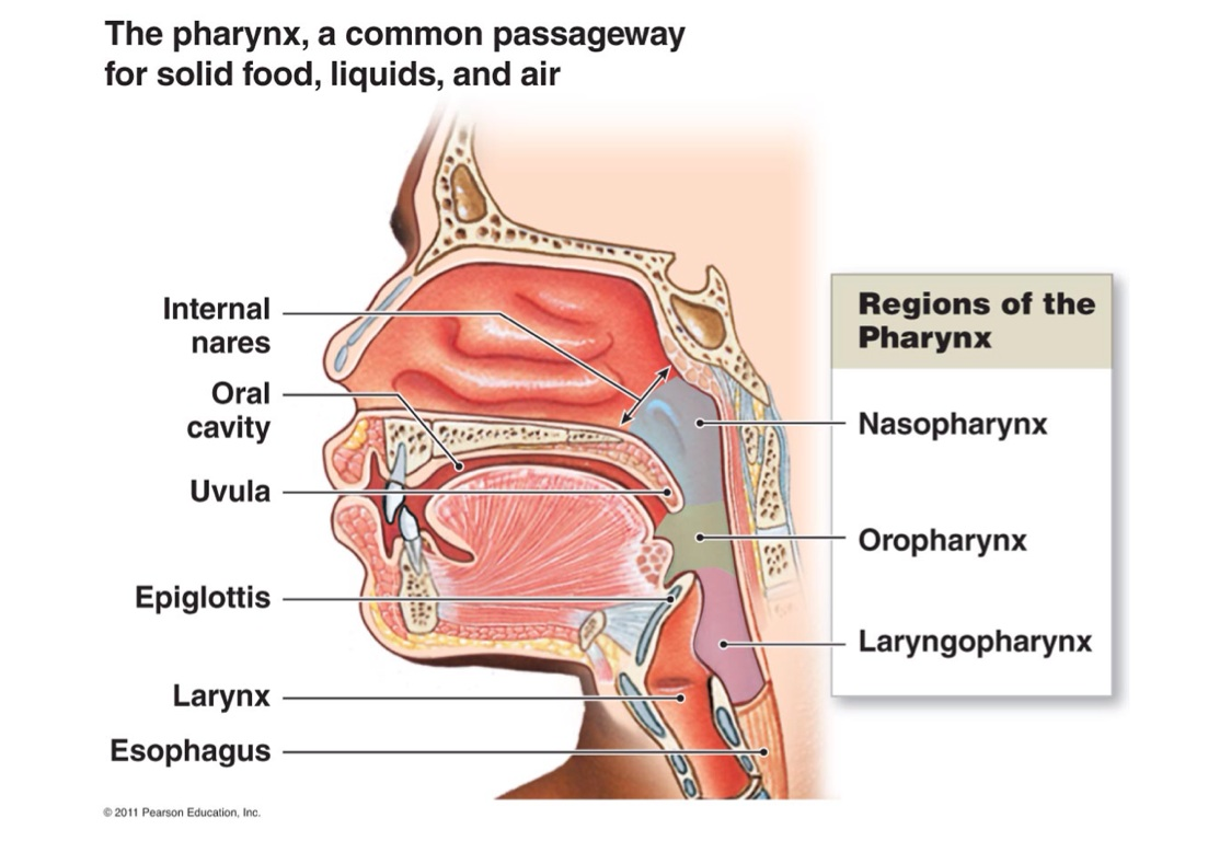 Oral Cavity And Pharynx By Laura Mckernan Simone