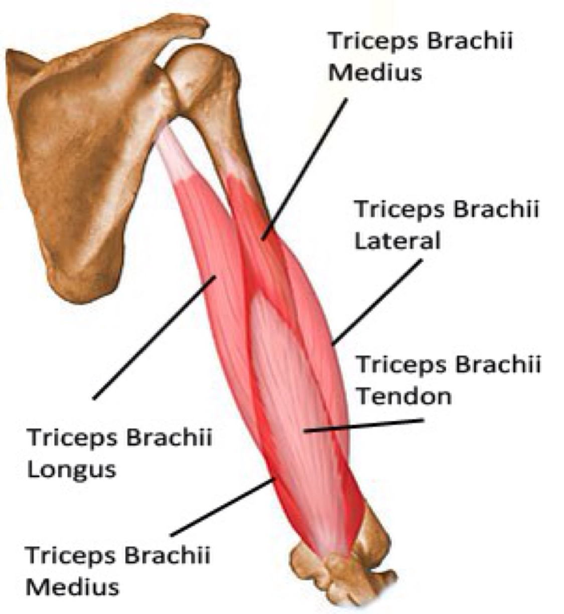 Given That The Long Head Of The Triceps Is Attached To The