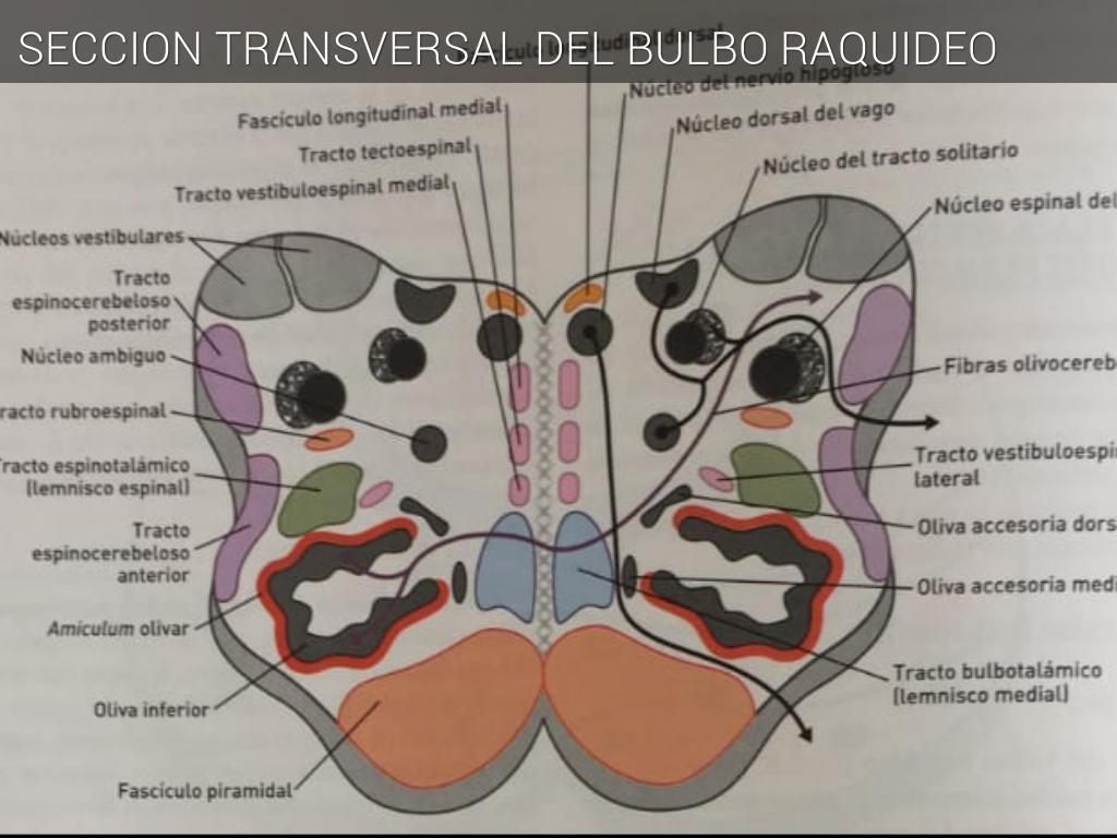 Bonito Anatomía Macroscópica De Sistema Muscular Ideas - Anatomía de ...