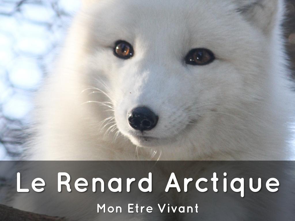 La Renard Arctique