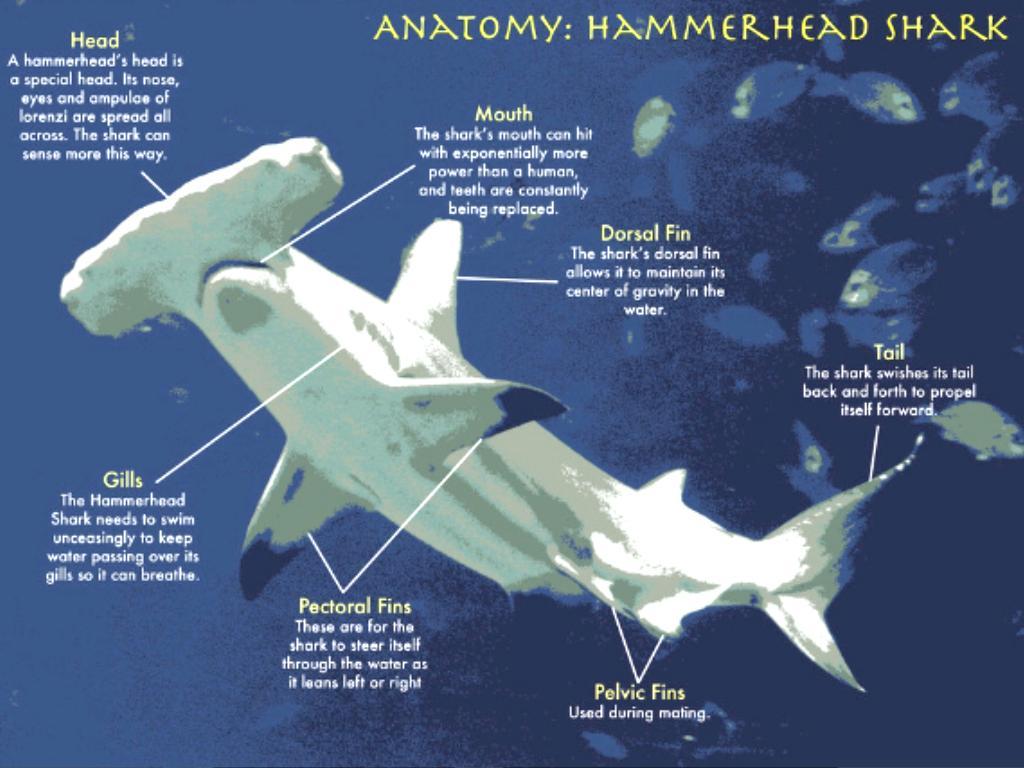 HammerHead Shark by Pablo Perini