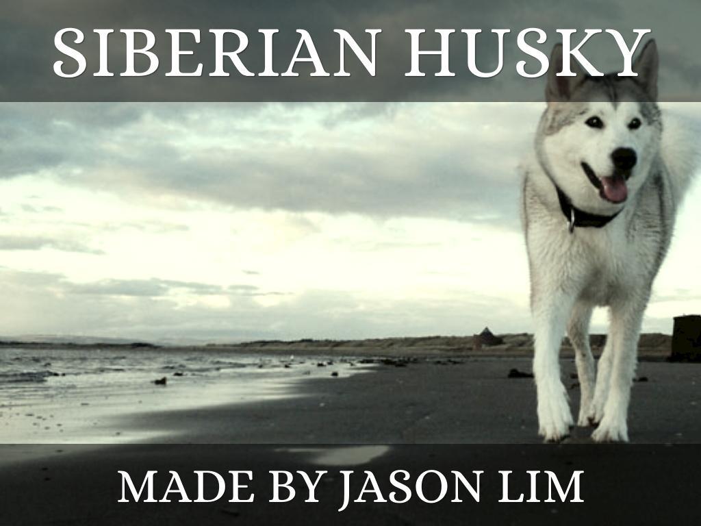 Siberian Husky By Jason Lim